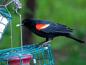 Red Winded Black Bird