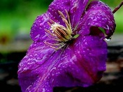 Clematus, after the rain!