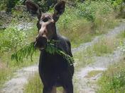 moose carrying around lunch