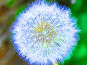 Colored Dandelion