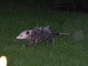Momma Opossum