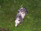 Momma Opossum 2