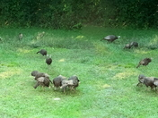 13th of Wild turkeys.jpg