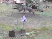 fox in backyard
