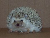 Hiccup the Hedge Hog