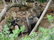 5 Baby Foxes