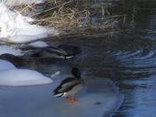 ducks on the ice