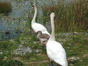 Swans pic4