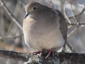 Mourning Dove, ready to Pop
