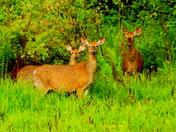 3 Deer in Franklin, NH