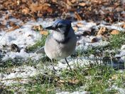 Blue Jay on the snowy ground