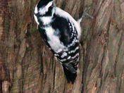 woodpecker on the juniper tree