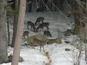 warner  back yard deer