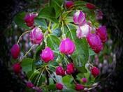 Apple Blossoms 3