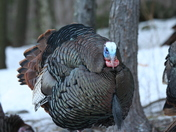 Tom Turkey 005.jpg