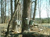 Rock wall and sap buckets