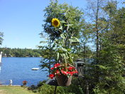 Hanging Sunflower