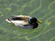 Spring Duck in Boston Harbor