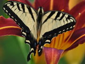 Butterfly in the Tigerlily