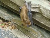 Bat sleeping in the open!