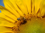 Bee Sunflower 3.JPG