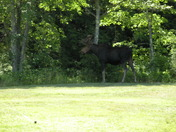 Moose on the loose in Raymond