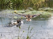 more ducks - Canterbury Marsh