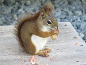 Campin Squirrel