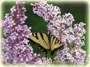 Yellow swallowtail on lilacs