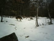 Coyotes checking us out in Weare, NH.