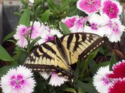 Butterfly and Tile 007.JPG