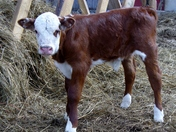 One Week Old Calf
