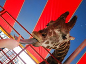 Feeding Giraffe at Fair