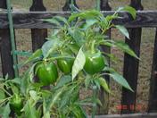 stuffed peppers for dinner