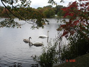 Swans on the Pond