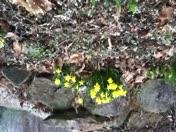 Daffodils. 02/16/13