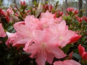 Azaleas after the rain...