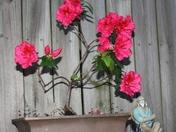 M. J.'s Bonsia in bloom.