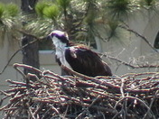 Baby Osprey awaits food from mom...