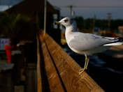 Gull on Garden City Pier the day after Christmas