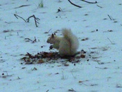 white squirrel playing in snow