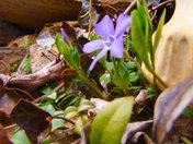 Periwinkles heralding spring