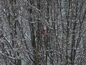 Beautiful Cardinal in snow covered tree