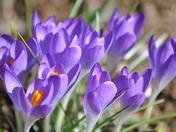 Spring Crocus blossoms