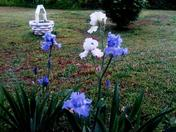 light blue and white Iris