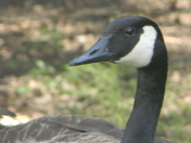 canada    geese 011.JPG
