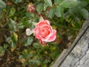 flowering bridge 086.JPG