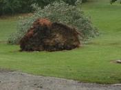 Tree fell (Laura Mitchell )