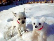 Snow ball and snow pup twin