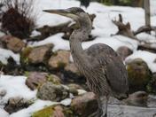 Return of the heron